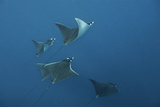 A School of Devil Rays Swim As They Filter Feed Off Isla Mujeres