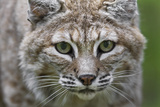 Portrait of a Female Bobcat  Lynx Rufus  Stalking