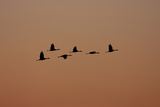 A Flock of Sandhill Cranes  Grus Canadensis  in Flight