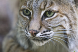 Portrait of a Bobcat  Lynx Rufus