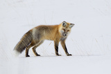 A Red Fox  Vulpes Vulpes  Listening for Rodents Burrowed Under the Snow
