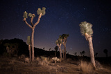 Joshua Trees Standing Below a Starry Sky