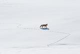 A Red Fox  Vulpes Vulpes  Walks Through Snow