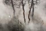 Dead Juniper Trees in the Mist