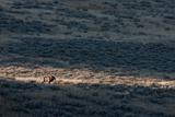 Sunlight Illuminates An Elk  Cervus Elaphus  on a Prairie in the Fall