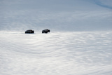 Buffalo Trudge Through Windblown Snow