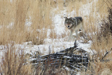 A Young Gray Wolf  Canis Lupus  Walking Through Tall Grass and Snow