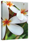 Kathy Yates 'White Plumeria' Canvas Art