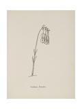 Guittara Pensilis Illustration From Nonsense Botany by Edward Lear  Published in 1889