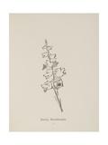 Barkia Howlaloudia Illustrations From Nonsense Botany  and Nonsense Alphabets by Edward Lear