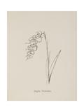 Jinglia Tinkettlia Illustrations From Nonsense Botany  and Nonsense Alphabets by Edward Lear