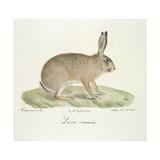 A Common Hare