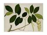 Lansium Domesticum