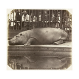 The Hippopotamus at the Zoological Gardens  Regent's Park  London  1852