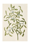 A Botanical Illustration Of a Plant Mistletoe a Hemi-parasitic Plant