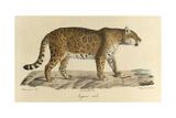 A Male Jaguar