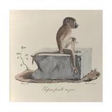 a Papion Monkey
