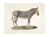 A Female Zebra