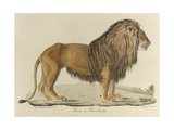 a Barbary Lion