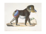 an Old Mandrill Baboon