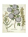 Sambucus  Trillium and Cytisus