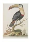 The Toucan