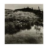 Bog Cotton  Bridestones Moor