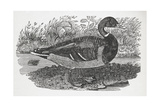 Engraving Of a Duck