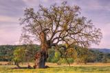 Beautiful Old Oak Tree in Morning Light