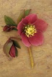 Purple Flower And Two Flowerbuds of Lenten Rose