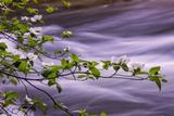 River Dogwoods  Yosemite