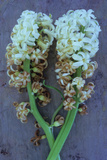 Two White Flowerheads of Common Hyacinth