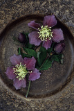 Two Dying Flowers of Lenten Rose Or Helleborus Orientalis