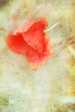 Poppy in the Rain II