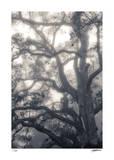 Mystic Oak