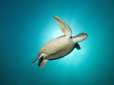 Green Turtle Swimming with Sunburst  New South Wales  Australia