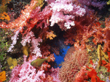 Copper Sweeper Fish in Coral Tube  Thailand