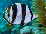 Close-up of a Banded Butterflyfish