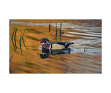 Wood Duck on Golden Pond