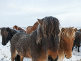 Icelandic Hoses in Snow  SW Iceland