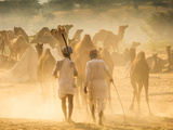 India  Rajasthan  Pushkar  Camel Herders Arriving at Pushkar Camel Fair