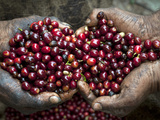Pickers  Hands Full of Coffee Cherries  Coffee Farm  Slopes of the Santa Volcano  El Salvador