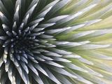 USA  Hawaii  Maui  Haleakala National Park  Silversword Plant (Argyroxiphium Sandwicense)