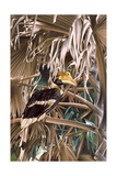 Hornbill  1987