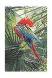 Scarlet Macaw  1989