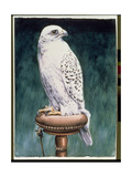 Gyr Falcon  1986