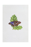 Purple Emperor Butterfly on Oak Leaves