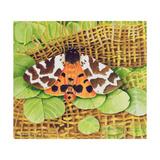 Tiger Moth  1999