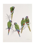 Illiger's Macaw Group  1987