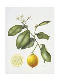 Citrus Bergamot  1995